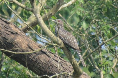 Asian koel femal  in janakauli forest chitwan