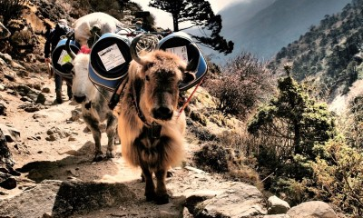 Yak during Everest trek