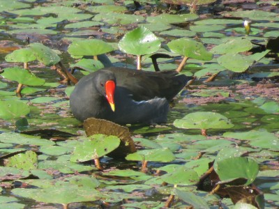 common moorhen-20 thousand lake in Chitwan