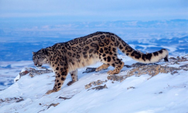 Snow leopard research trip in Nepal